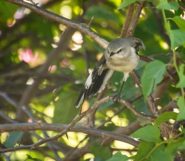 Mockingbird (1)
