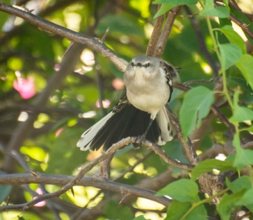 Mockingbird (4)