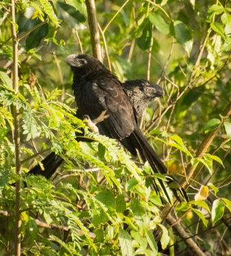 Smooth-Billed Ani. They're faces area little bit reminiscent of bats
