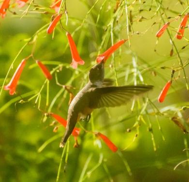 Woodstar Hummingbird (the smallest in the hummingbird family)